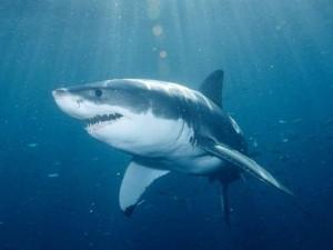 акула охотится в океане