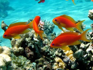 красивые коралловые рыбки