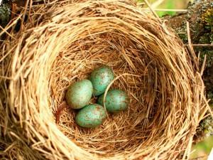 птичье гнездо с кладкой яиц