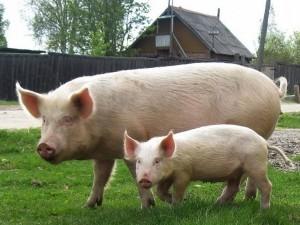 свинья с порсенком