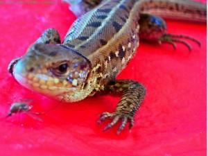 саламандра относящаяся к классу амфибий