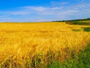поле со спелыми колосьями пшеницы