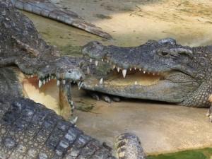 страшные, зубастые, опасные аллигаторы на песке