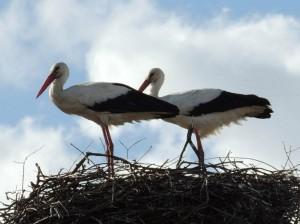 два аиста в гнезде