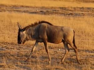антилопа гну в саванне