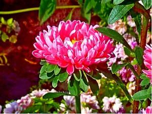 красивый цветок астры