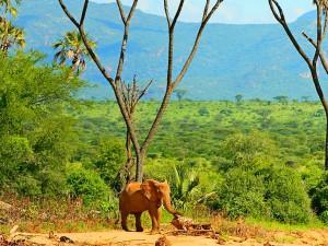 африканский слон в саванне