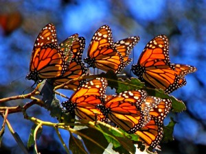 "красивые бабочки ""Монархи"""