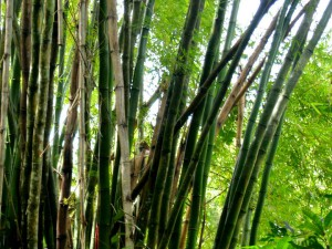 бамбук фото картинки