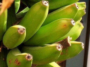 банан растение фото